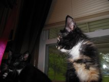 Cats and Kittens for adoption in Belleville, Illinois