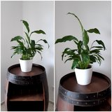 house plant Spathiphyllum with white ceramic pot in Ramstein, Germany