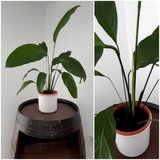 house plant Spathiphyllum with brown plastic pot in Ramstein, Germany