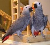 Hand-reared African Grey Parrots available now in Grafenwoehr, GE