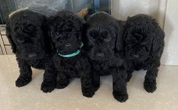 lovely Cockapoo puppies in Miramar, California