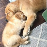 Our beautiful male and female Golden Retriever puppies are now ready to meet their new loving fa... in Miramar, California