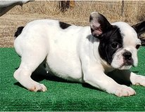 Adorable French Bulldog Puppies for re-homing they are all AKC registered, in Miramar, California