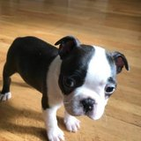 Cute male and female Boston Terrier Puppies Adorable little Boston Terrier puppies looking for l... in Miramar, California