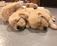 AKC Golden Retriever Puppies, Ready to leave now 9 week old in Miramar, California