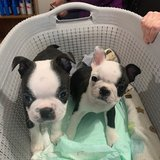 BOSTON TERRIER ,AKC registered, male and female. in Fort Riley, Kansas