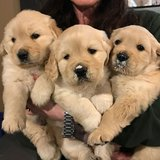 Our beautiful male and female Golden Retriever puppies are now ready to meet their new loving fa... in CyFair, Texas