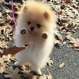 hgkf Pomeranian puppies for sale. in Nellis AFB, Nevada