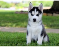 Sweet Siberian Husky Puppies in Pearland, Texas