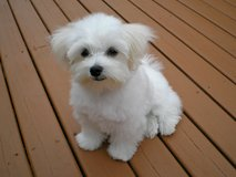 Super Adorable Maltese Puppies in Pearland, Texas