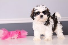 Adorable Male And Female Shih Tzu Puppies in Pearland, Texas