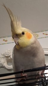 Lost cockatiel in the Hermitage area in Beaufort, South Carolina