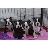 Very healthy and cute Boston Terrier puppies for you.They are vet checked, had their shots, come... in Yuma, Arizona