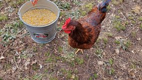 Rhode Island Red rooster in Fort Campbell, Kentucky