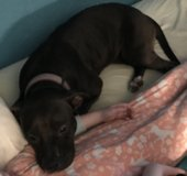 Very sweet Female spayed pit/bully looking for home or rescue. in bookoo, US