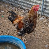 Free Young Rooster Today Only! in Yucca Valley, California