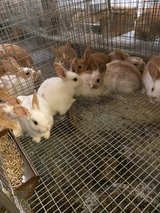 New Zealand Bunnies in Warner Robins, Georgia