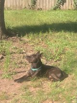 Male Blue Mix in Baytown, Texas