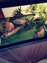 Two leopard geckos with whole tank setup in Chicago, Illinois