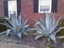 Agave in Warner Robins, Georgia
