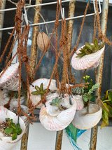 succulent in hanging shell in Okinawa, Japan
