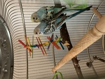 2 Bonded Parakeets in Spring, Texas