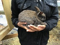 New zealand bunny in Hinesville, Georgia