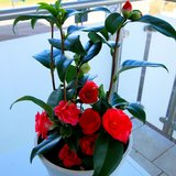 Flowers, potted in Ramstein, Germany