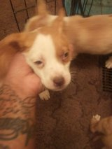 Siberian bullies blue eyes ready to find a forever home only have 2 left both boys in Fort Leonard Wood, Missouri