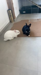 Bunnies for sale in Ramstein, Germany