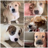 FREE puppies to good home in Fort Leonard Wood, Missouri