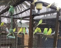 Young Budgerigars for sale in Lakenheath, UK