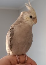 Rehoming 3 Cockatiels in Spring, Texas