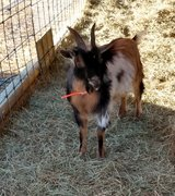Pair of young goats in Fort Leonard Wood, Missouri