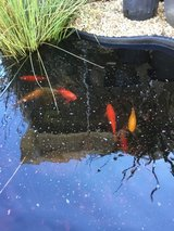 Goldfish in Moody AFB, Georgia