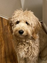 Goldendoodle in Moody AFB, Georgia