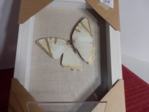 Shadowbox Butterfly Picture in Chicago, Illinois