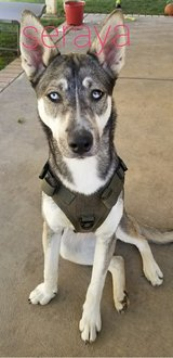 German Shepard mixed with Husky in Camp Pendleton, California