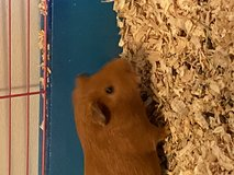 Free guinea pig with cage in Fort Campbell, Kentucky