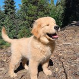 Adorable golden retriever puppies in Miramar, California