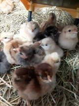 12 Chicks! in Rolla, Missouri