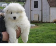 Cute Samoyed puppies are ready for re homing in Indianapolis, Indiana