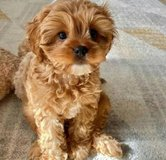 Amazing male and female Cavapoo puppies available in Indianapolis, Indiana