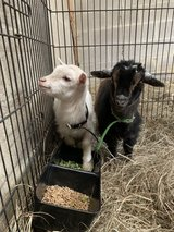 wanted female goats in New Orleans, Louisiana