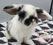 Holland Lop Rabbits in The Woodlands, Texas