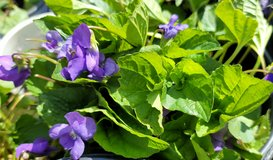 Organic Sweet Purple Violet Plant, Large Pots, Perennial in Glendale Heights, Illinois