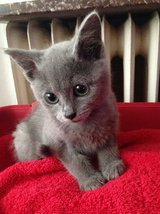 13 weeks old  Russian Blue kittens in Tampa, Florida