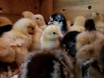 CHICKS 3.00 & 2.50 each. in Tomball, Texas