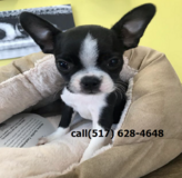 buy Boston terrier puppies near me. in Lackland AFB, Texas
