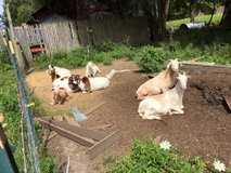 Free playhouse for goats. deck or climbing in Plainfield, Illinois